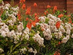 Garden at Caloola - succulents (Lesley A Butler) Tags: victoria sunbury garden caloola australia