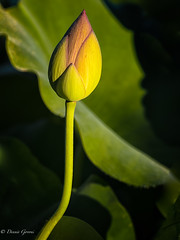 Touched by the Sun (dngovoni) Tags: dc flower lotus background bud kenilworthaquaticgardens macro summer sunrise