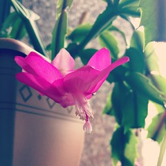 Christmas cactus (moonwatcher13) Tags: christmascactus cactus schlumbergera cactaceae dc iphone iphone6 instagram