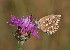 Bläuling (Hugo von Schreck) Tags: schmetterling butterfly macro makro insect insekt hugovonschreck bläuling greatphotographers canoneos5dsr tamron28300mmf3563divcpzda010