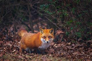 Fox Crawl