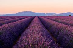Provence (renan4) Tags: lavender fields purple flowers valensole provence france landscape mountains sunset sunrise lavande lavandin alpesdehauteprovence french renan4 renan gicquel nikon d800
