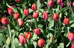 Tulips at Brooklyn Botanic Garden, New York City (SomePhotosTakenByMe) Tags: tulip tulpe rot red plant pflanze brooklyn brooklynbotanicgarden botanicgarden botanicalgarden botanischergarten garten garden outdoor urlaub vacation holiday usa america amerika unitedstates nyc newyorkcity newyork stadt city flora blume flower