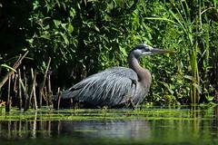 Great Blue Heron (Sandy Paiement) Tags: greatblueheron ardeaherodias