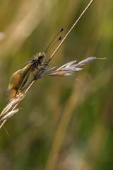 ascalaphe (heiserge) Tags: france pagnylablanchecôte macro nature ascalaphe insectes meuse europe lorraine macrophotographie animal animaux