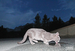 Thirsty kitten (morbidtibor) Tags: cat kat kater poes kitten pussycat slovenia domnakomni
