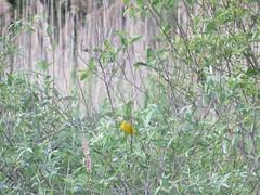 Yellow Warbler In By The West Rutland Marsh (amyboemig) Tags: westrutland marsh wetland spring summer june songbird bird yellow warbler