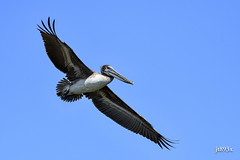 Brown Pelican (jt893x) Tags: 150600mm bif bird brownpelican d500 jt893x nikon nikond500 pelecanusoccidentalis pelican sigma sigma150600mmf563dgoshsms the sunshine group coth alittlebeauty coth5