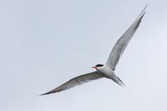 NGIDn646663662 (naturgucker.de) Tags: ngidn646663662 flussseeschwalbe regenpfeiferartige seeschwalben sterna vögel wirbeltiere