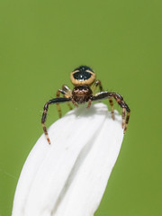 Synaema globosum (femmina) (giansacca) Tags: synaemaglobosum aracnide araneae ragno spider ragnogranchio crabspider ragnonapoleone