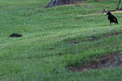 Mississippi Map Turtle; Laying Eggs, Photo # 5 (Arthur Windsor - Florida Wildlife) Tags: mapturtle southflorida yelloweyeturtle turtle reptile turtlenest palmbeachcounty mississippimapturtle