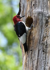 Red-headed woodpecker (U.S. Fish and Wildlife Service - Midwest Region) Tags: michigan mi june 2018 spring summer woodpecker redheadedwoodpecker bird birding nest malan waterfowlproductionarea wpa wmd wetlandmanagementdistrict district