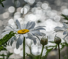 Good morning World. (Omygodtom) Tags: tamron90mm sunshine macro sparkle existinglight park flower water usgs usg natural nikon zipper dof