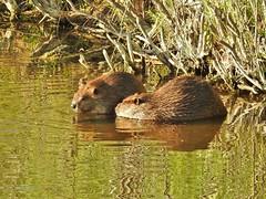 Beaver kits...(Explored) (Jane Lazarz Nature Photography) Tags: janeelizabethlazarz walkingcolorado nikon p900 nikonp900 coloradosprings colorado janelazarz photographybyjanelazarz breathtaking beavers explored inexplore explore