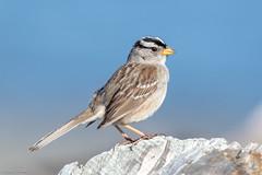 White Crowned Sparrow (Linda Martin Photography) Tags: whitecrownedsparrow spencerspitstatepark usa wa zonotrichialeucophrys pugetsound us washingtonstate lopezisland coth naturethroughthelens coth5 alittlebeauty ngc