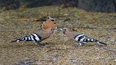 Hoopoe - Upupa epops (jaytee27) Tags: upupaepops hoopoe tuscany italy fantasticnature naturethroughthelens