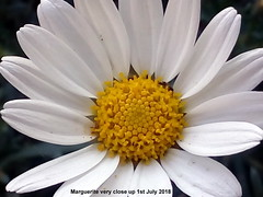 Marguerite very close up 1st July 2018-002 (D@viD_2.011) Tags: marguerite very close up 1st july 2018