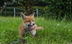 Bebbo der Fuchs II (roland_lehnhardt) Tags: canon eos60d ef100mmf28macrousm ef50mmf18ii fuchs fox tiere tierportrait animals