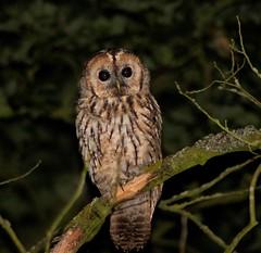 Tawny Owl (xDigital-Dreamsx) Tags: birdofprey night wildlife nature woodland bird perch pose dark coth5 coth