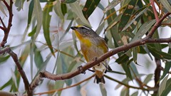 Striated Pardalote (Rodger1943) Tags: pardalotes striatedpardalote australianbirds fz1000 4kvideo