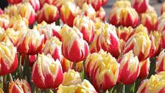 Tulips (YY) Tags: tulips garden keukenhof lisse southholland netherlands flowers