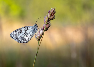 Marbled White...sunny side up.