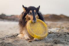 26/52 Leia & It's mine (shila009) Tags: leia perro dog sand beach playa arena portrait retrato dogphotography light frisbee luz amanecer summer verano 2652 52weeksfordogs