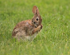 Keep Your Nose Clean (Slow Turning) Tags: sylvilagusfloridanus easterncottontail rabbit bunny grooming grass field spring summer southernontario canada