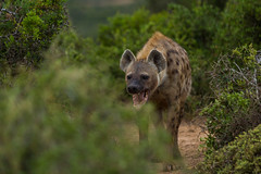 South_Arica_2018_21 (s4rgon) Tags: addoelephantnationalpark addoelephantpark animals gardenroute hyäne natur nature southafrica spottedhyena südafrika tiere