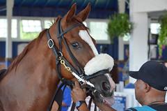 2016-08-19 (5) r1 #9 Burning Millions (JLeeFleenor) Tags: photos photography md maryland marylandracing marylandhorseracing horses thoroughbreds equine equestrian cheval cavalo cavallo cavall caballo pferd paard perd hevonen hest hestur cal kon konj beygir capall ceffyl cuddy yarraman faras alogo soos kuda uma pfeerd koin حصان кон 马 häst άλογο סוס घोड़ा 馬 koń лошадь paddock