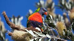 Rainbow lorikeet (Mikey Down Under) Tags: australia banksia bird coast coffs colourful lorikeet northcoast northern nsw rainbow wild woolgoolga