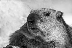 Marmota - Marmot (McGuiver) Tags: canon canon7dmarkii canon100400 naturlandia andorra pyrenees pirineus pirineos mamifers mamiferos mammal marmota marmot
