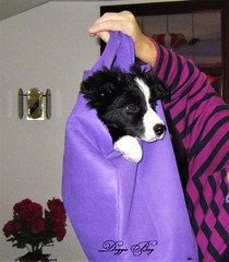 Doggie Bag (ASHA THE BORDER COLLiE) Tags: pup funny dog pictures doggie bag cute adorable ashathestarofcountydown connie kells county down photography