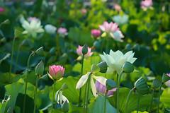 Smaller Numbers of Lotus This Year From Echo Park (Robb Wilson) Tags: losangeles echopark lotusfestivalechopark lotusflowers sunlight pinkflowers