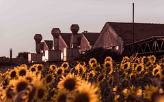 a fresh new colored field of sunflowers near the old abandoned gray factory (lucafabbricesena) Tags: fresh new colored field sunflower old abandoned factory industrialarchitecture building contrast italy cesena sacim emiliaromagna sunset history summer colorful rural yellow flower nature light nikon d800 backlight petals