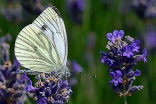 Green-veined White on Lavender