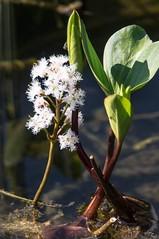 Étang de Labant (Ariège) (PierreG_09) Tags: ariège pyrénées pirineos couserans auluslesbains coumebière labant étang lac étangdelabant flor flore fleur plante trèfledeau menyanthestrifoliata