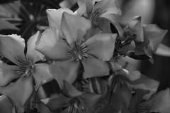 Flower at Terramar, Sitges, Barcelona. (heraldeixample) Tags: heraldeixample sitges terramar bcn barcelona spain espanya españa spanien catalunya catalonia cataluña catalogne catalogna flors flowers flores fleurs blumen blodau פרחים fiori フラワーズ blomster цветы maua 花卉 ngc nationalgeographic albertdelahoz
