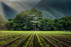Crops and sundown (kellypettit) Tags: farms fields light sunrays leadinlines shadows japan mountains gunma lasttreehill followthelight kellypettit landscapephotography nature emptiness vegetables agriculture food