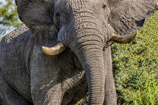 AFRICAN ELEPHANT:  Up Close and Personal