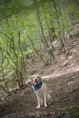 IMG_5171 (BernaPhotography) Tags: labradorretriever lab labrador dog pet yellow forest nature serbia