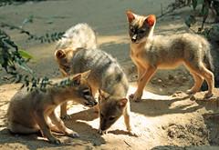 golden jackal Burgerszoo JN6A0801 (j.a.kok) Tags: jakhals goudjakhals goldjackal goldenjackal jackal animal burgerszoo pup mammal zoogdier dier predator