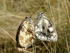 Couple (JMVerco) Tags: papillon butterfly farfalla demideuil macro coth coth5