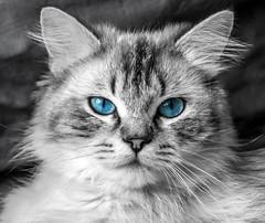 Blue Eyes (Kiwi-Steve) Tags: cat pet selectivecolouring blueeyes nikon nikond7200 newzealand