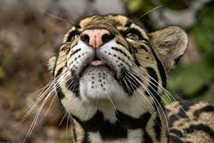 Chin up, it's Friday (ucumari photography) Tags: ucumariphotography cloudedleopard neofelisnebulosa animal mammal naples florida fl zoo may 2018 dsc9613 specanimal