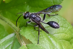 L'isodonte mexicaine. Guêpe noire - The grass-carrying wasp (A_Decostre) Tags: