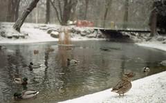 Żeby było cieplej (luzusuzu) Tags: parkwilsona poland poznan ducks winter nature analog luzusuzu