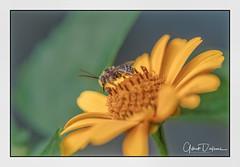Bee on Daisy (gilbertdorleansphotography) Tags: fleurs montréal canon canonlens flora flowers garden jardin macro macrophotography nature photo photographe photographie photography photos summer