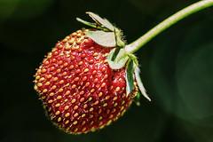 Erdbeere - Strawberry (tom22_allgaeu) Tags: erdbeere strawberry macro makro nikon tamron 90mm red green fruit fragaria natur nature nahaufnahme