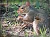 Caught in the Act (Suzanham) Tags: animal squirrel rodent nature wildlife mammal sciuridae treesquirrel mississippi starkville omnivores